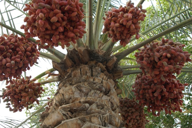 Fresh Dates From The Palm Tree Food And Tools