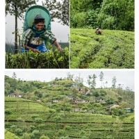 Tea Pickers and Tea Plantation-3