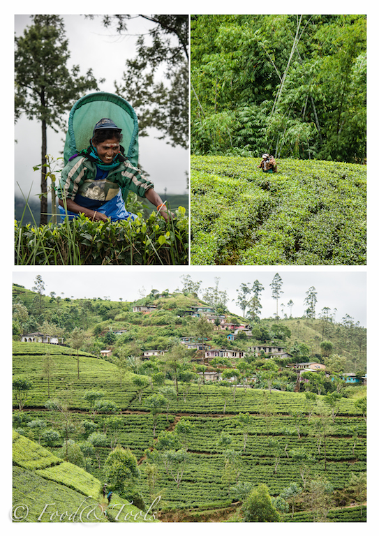 Tea Pickers and Tea Plantation