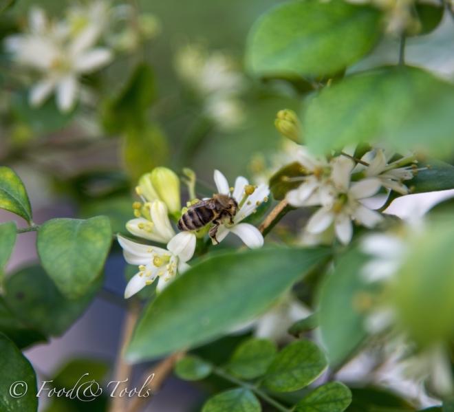 Bahraini Bees-0893