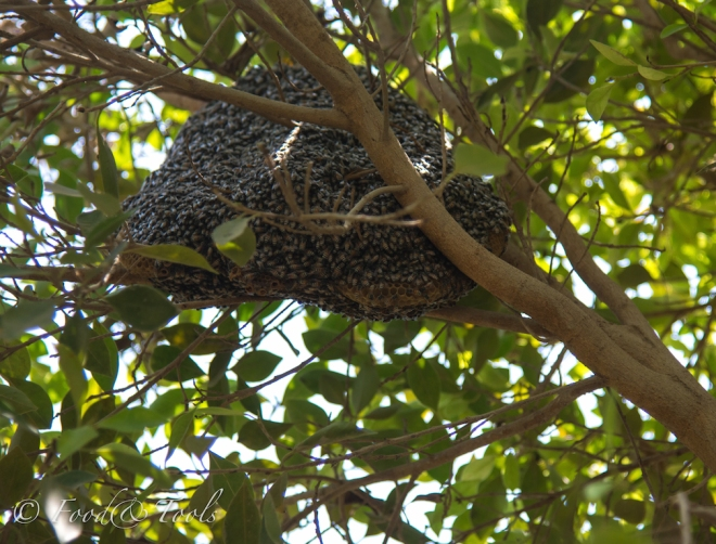 Dwarf Bees-Bahrain-7308