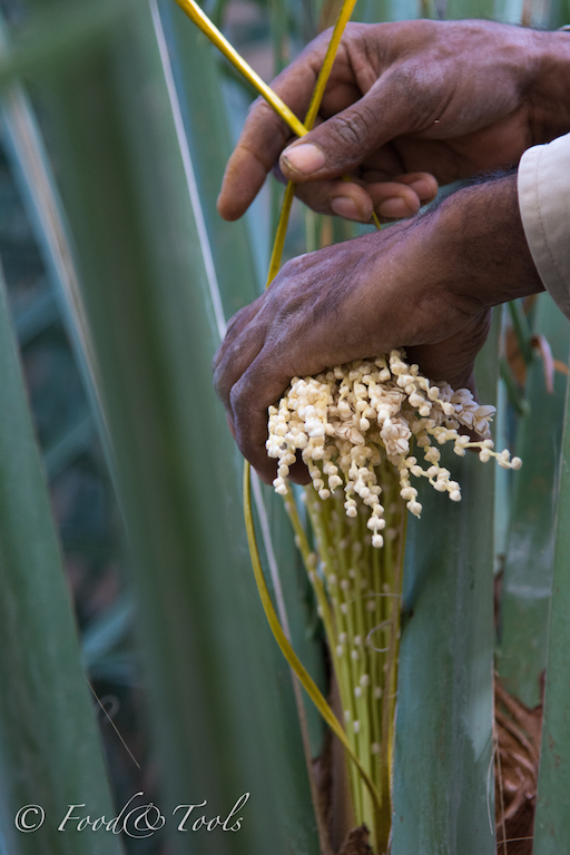 Date Palm Tree_Tying bunches of female flowers